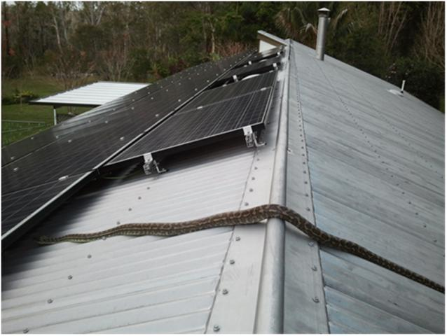 carpet snake hiding under solar panel
